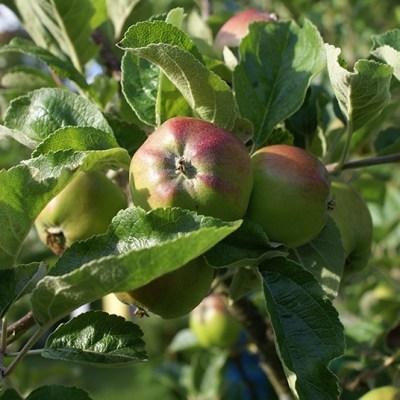 Snart äter vi egna äpplen
