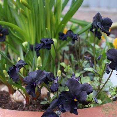 Svarta violer