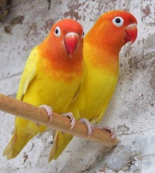 lovebirds parakeets also