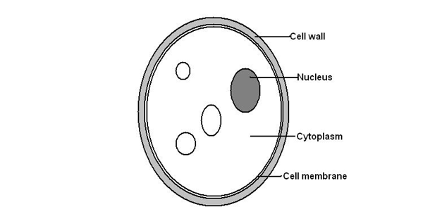 B2.1 Cells and Cell Structures • A* Biology