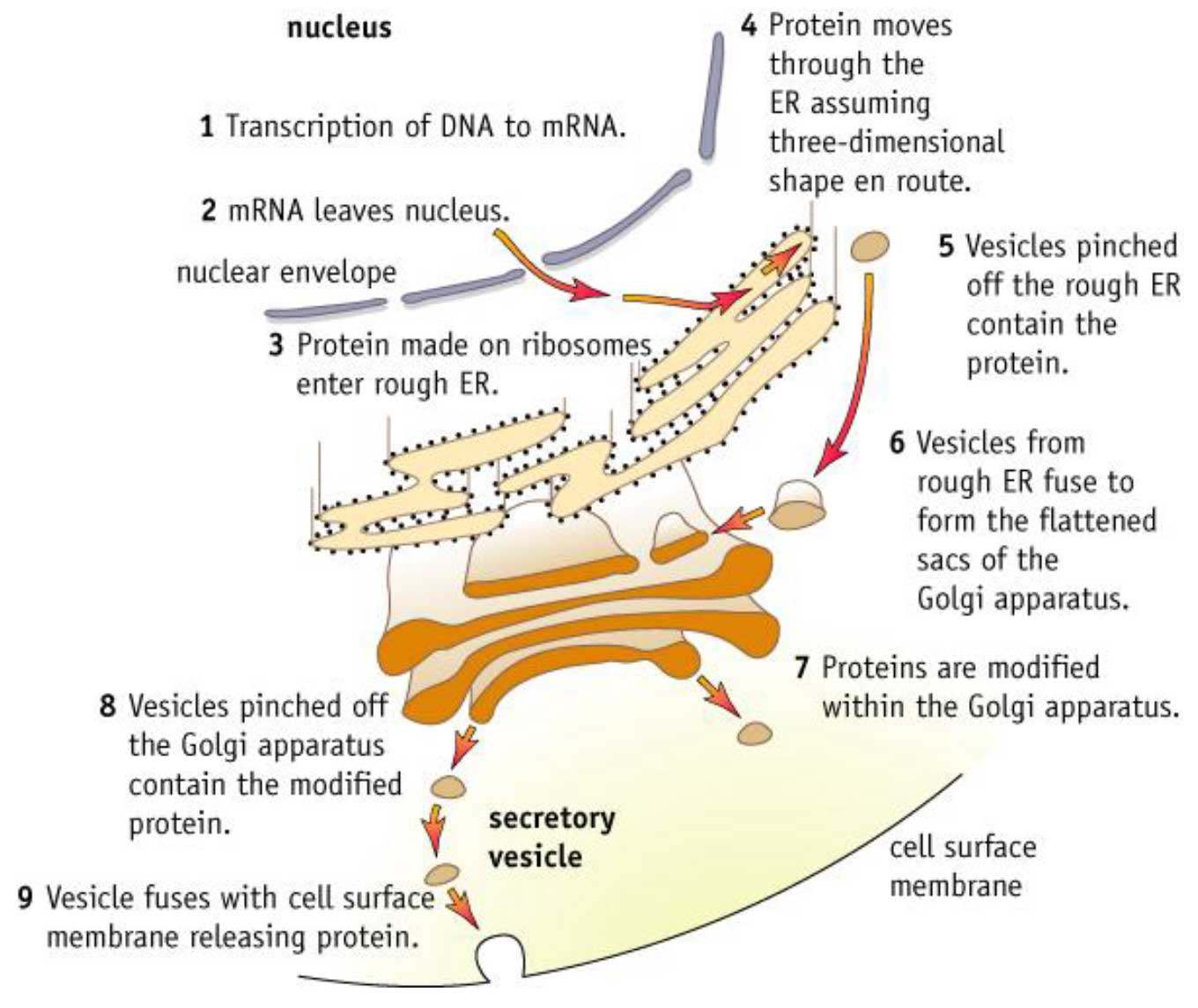 Protein synthesis in the cell - description, process functions 56