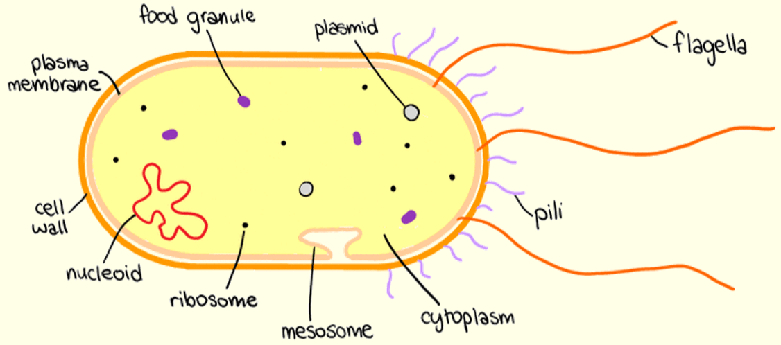 12 Prokaryotic Cells A Biology