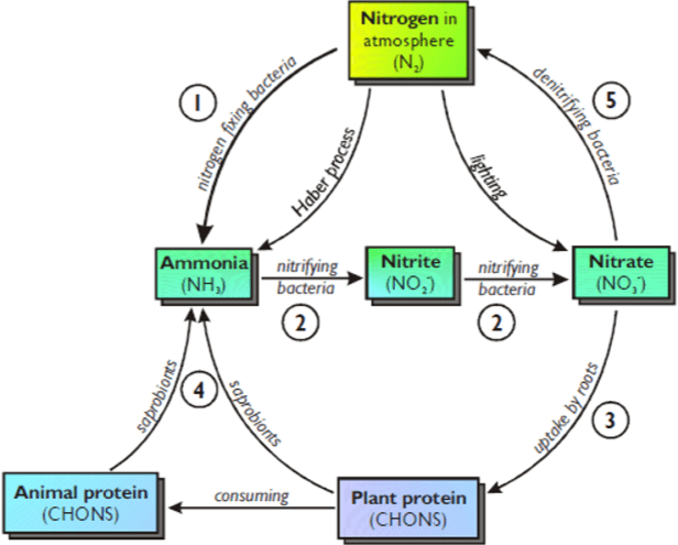 the nitrogen cycle a biology