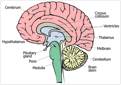 83 brains and behaviour a biology the cortex is the top of the brain made mostly of cell bodies synapses and dendrites grey matter this is the largest brain region and is divided into ccuart Choice Image