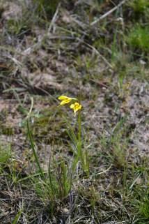 Golden Moths orchid Diuris basaltica (?)