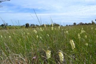 Grassland candles Stackhousia monogyna(?)