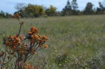 Bush-pea, Pultenea (?) species