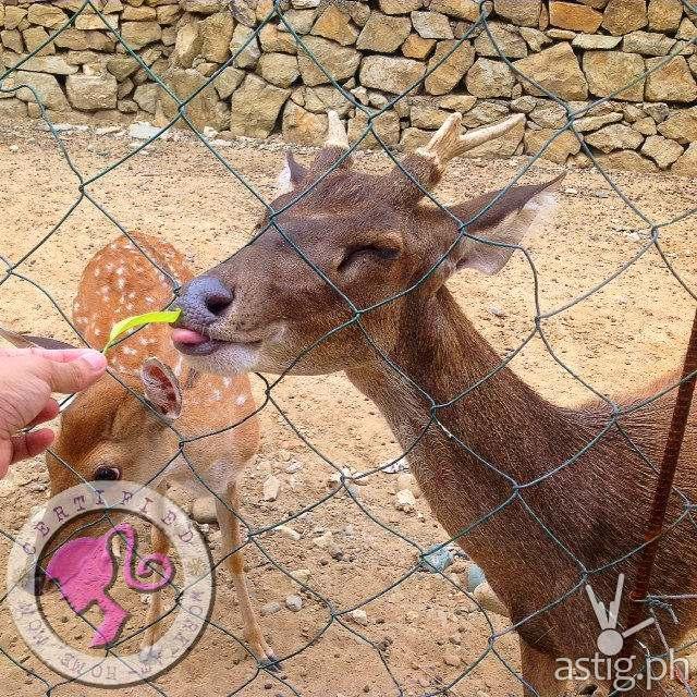Deer at Baluarte in Vigan