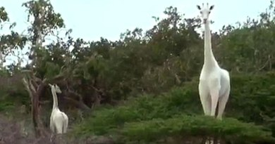 Incredible Moment Rare White Giraffes are Spotted in Kenya