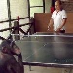 chimpanzee playing ping pong
