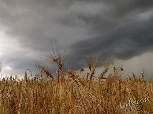 Reife Wintergerste bei Regenwetter