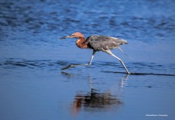 I'm a walkin' Reddish Egret
