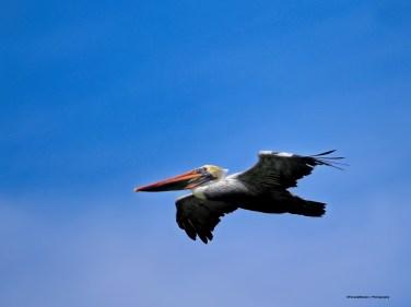 Pelican Asign