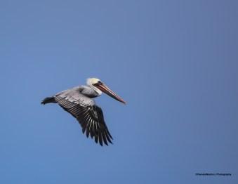 Pelican Bsign