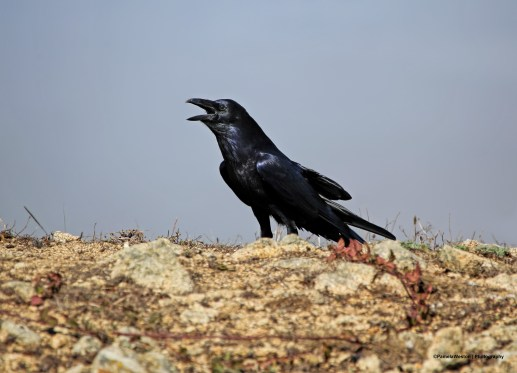 Raven talking away