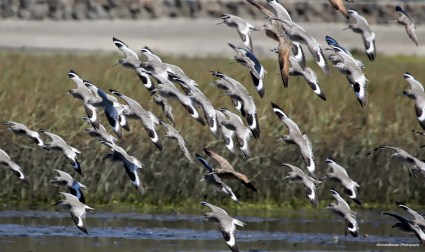 Flock of Whimbrels and a few Long billed Curlews