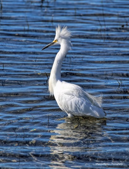 Miffed about missing the fish-Snowy Egret