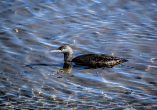 Am I loony? a Pacific Loon