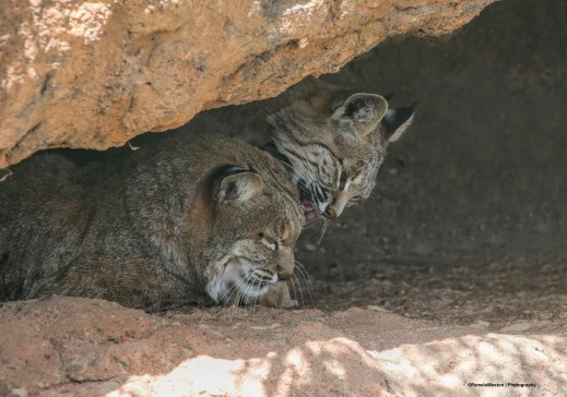 Kitties will be kitties-Bobcats bathing