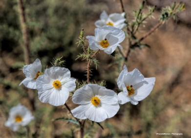 Prickly Poppies