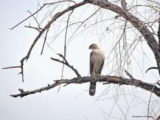 Juvenile Cooper Hawk