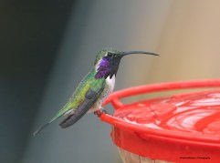 Lucifer Hummingbird is a famous visitor here