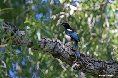A Magpie