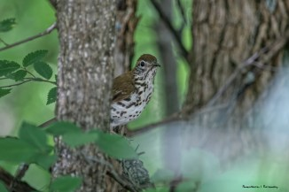 A shy Wood Thrush