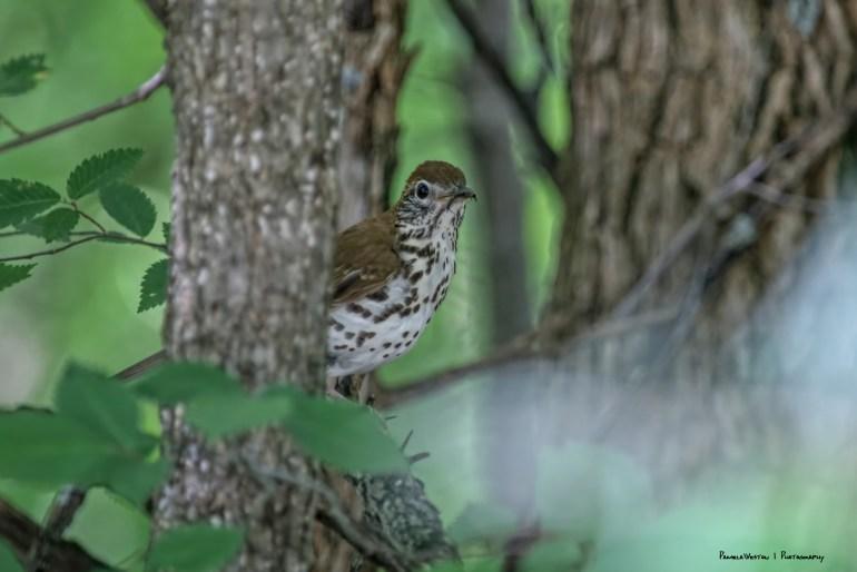 A shy Wood Thrush
