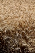 Wheat just before it was harvested