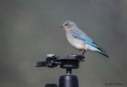 Female Mountain Bluebird putting my tripod to good use