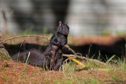 Black Squirrels, the Brawn