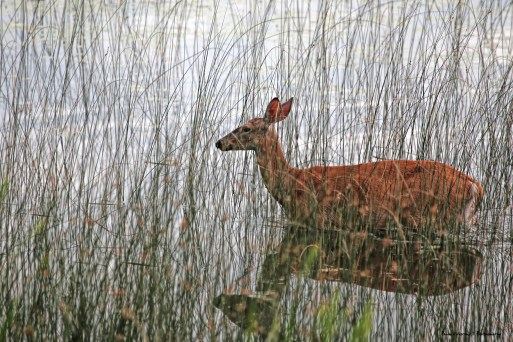 Deer grazing in the lake