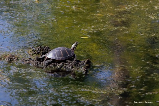 A painted turtle sunning