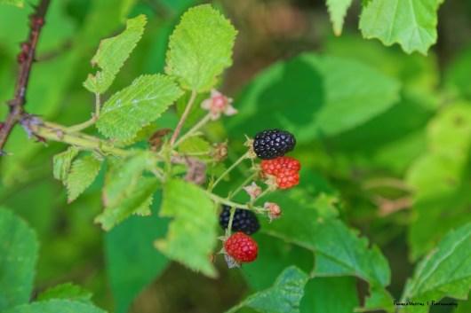 Blackberries in the woods