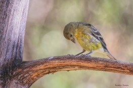In the bird blind, a juvenile Goldfinch checks out his feet;)