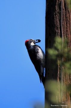 Acorn Woodpecker about to stash his acorn.