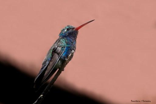 Broad Billed HUmmingbird, a jewel