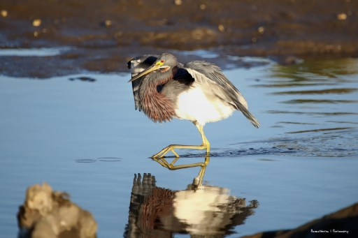 Tri-Coloured Heron whooping it up