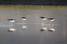 Did you really drop myour keys Burt? We'll never find them. Black Necked Stilt humour