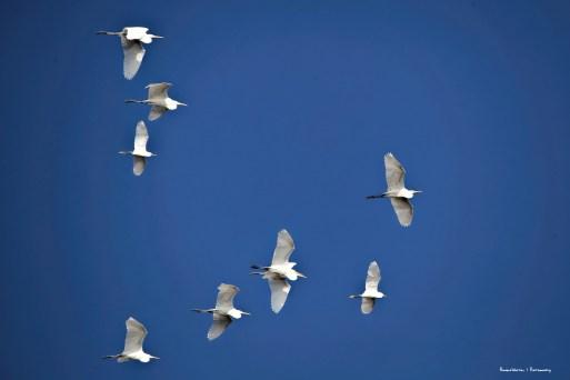 Great Egret flyover