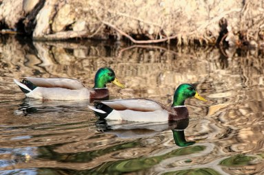 A lovely pair of mallard gents
