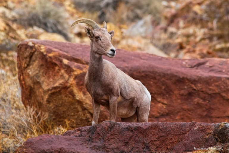 A lone Bighorn sheep ewe, striking a lovely pose