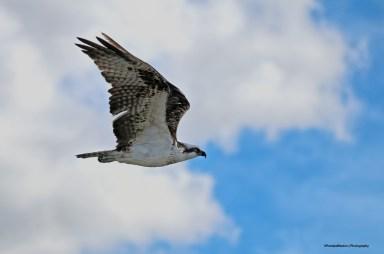 1-3-ospreyasign