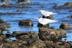 Elegant Terns facing into the wind
