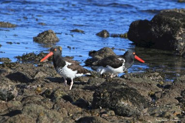 These Oystercatchers are hilarious:)