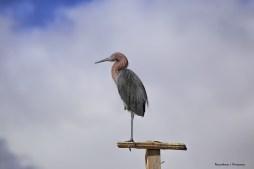 My new windvane:) Reddish Egret