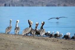 Pelicans gossiping;)