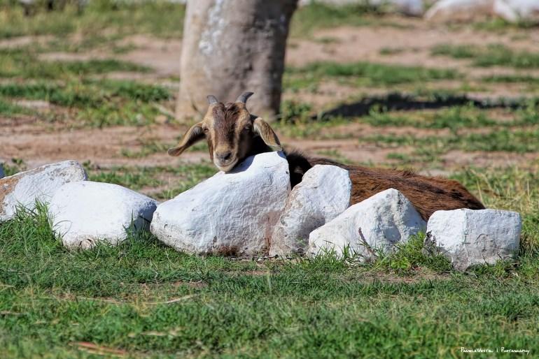 :) Happy Goat