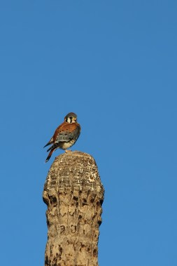 Beautiful Kestrel on a storm topped palm
